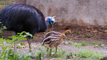 Photo of adult cassowary with two chicks